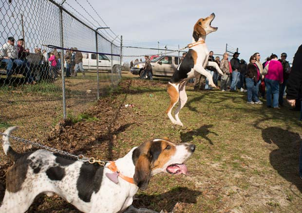 Two barking and jumping dogs tied to a fence captured by US photographer Tammy Mercure photography